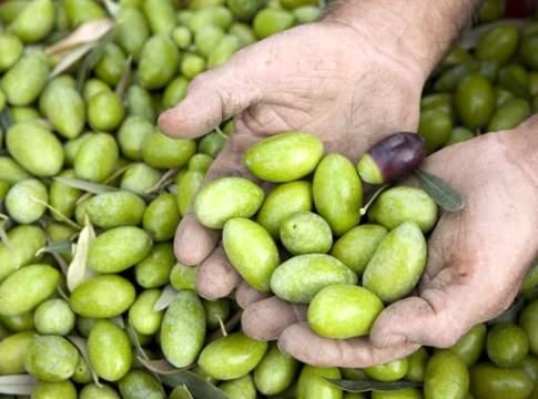 olivicoltura da mensa