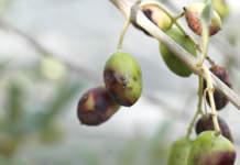 mosca delle olive rimedi