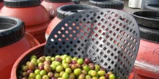 terroir olive da mensa