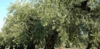 peranzana