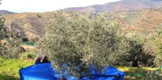 annata olivicolo-olearia 2021