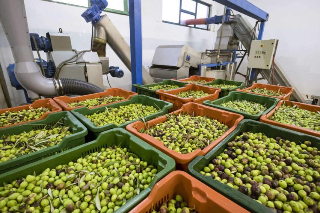 raffreddare olive