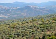 olivicoltura basilicata