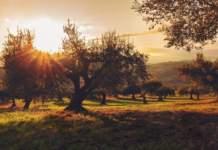 emilia romagna olivo