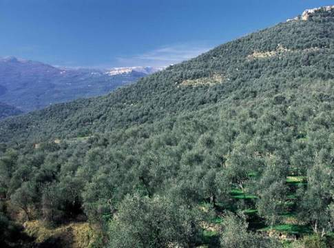 liguria cascola olive