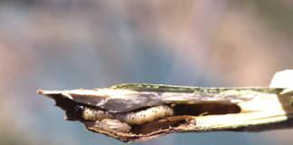 difesa olivo